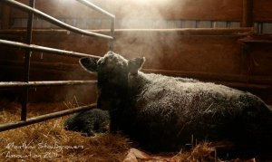 sitz angus ranch cold calving february