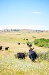 Cattle Trailing on the LaSalle Ranch