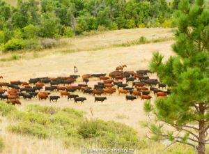 Cattle on the Padlock Ranch