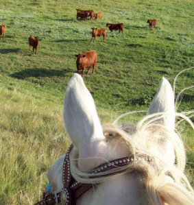 Riding through the Red Angus herd.