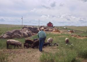 John Henry looks over the 2014 piglets.