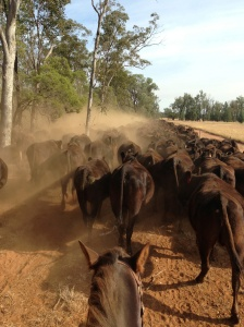 Trailing 700 Wagyu cows in the dust to the next paddock.