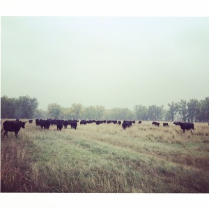 Kaitlin Cusker sent us this great fall cattle scene on an early morning start.